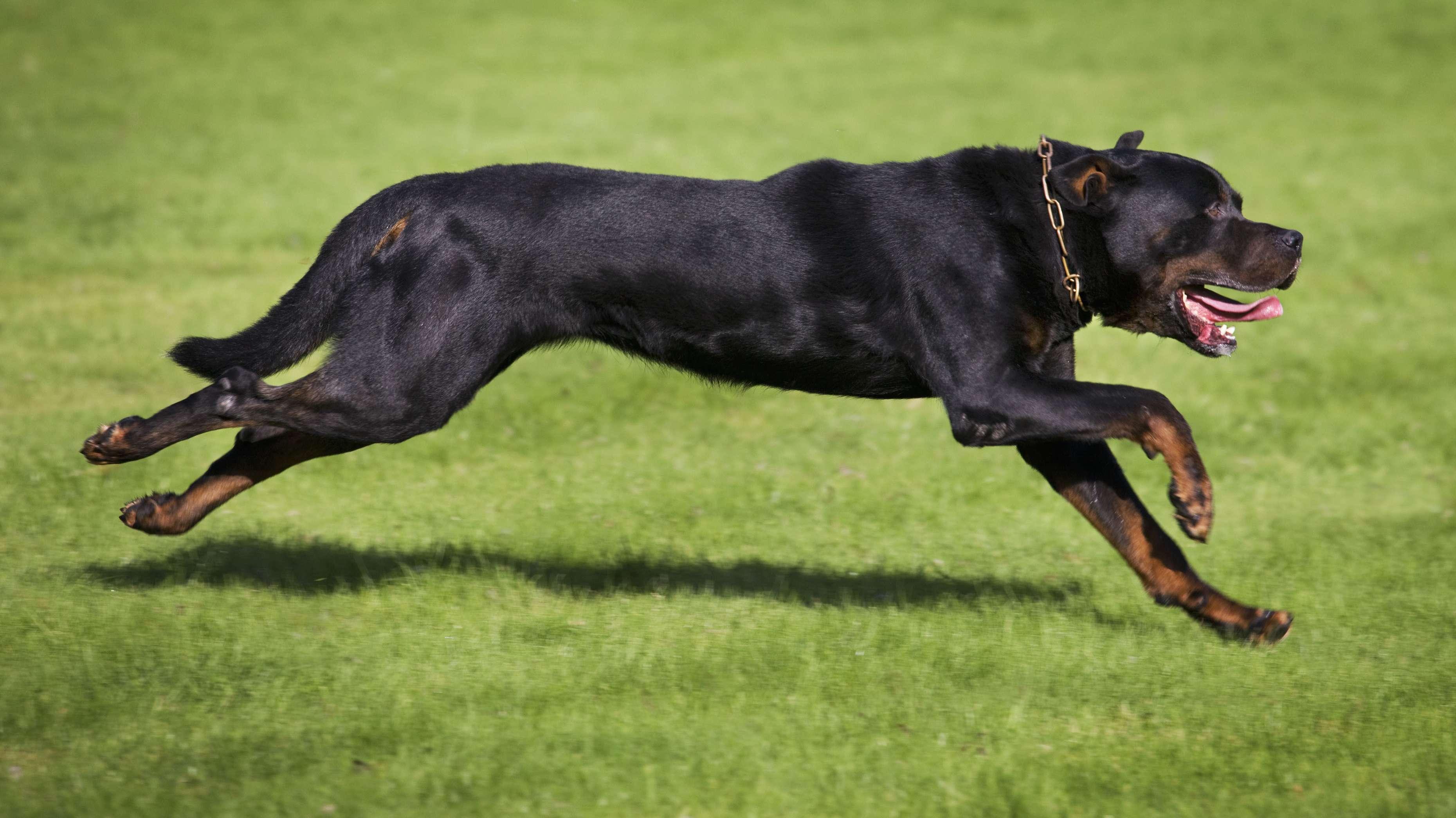 Ein Rottweiler-Hund rennt über eine Wiese
