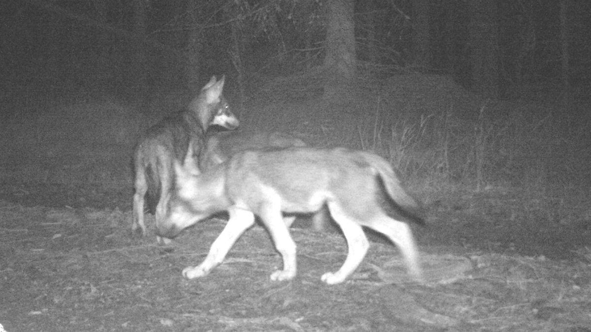 Junge Wölfe, die im Nationalpark Sumava kürzlich von einer Wildtier-Kamera fotografiert wurden