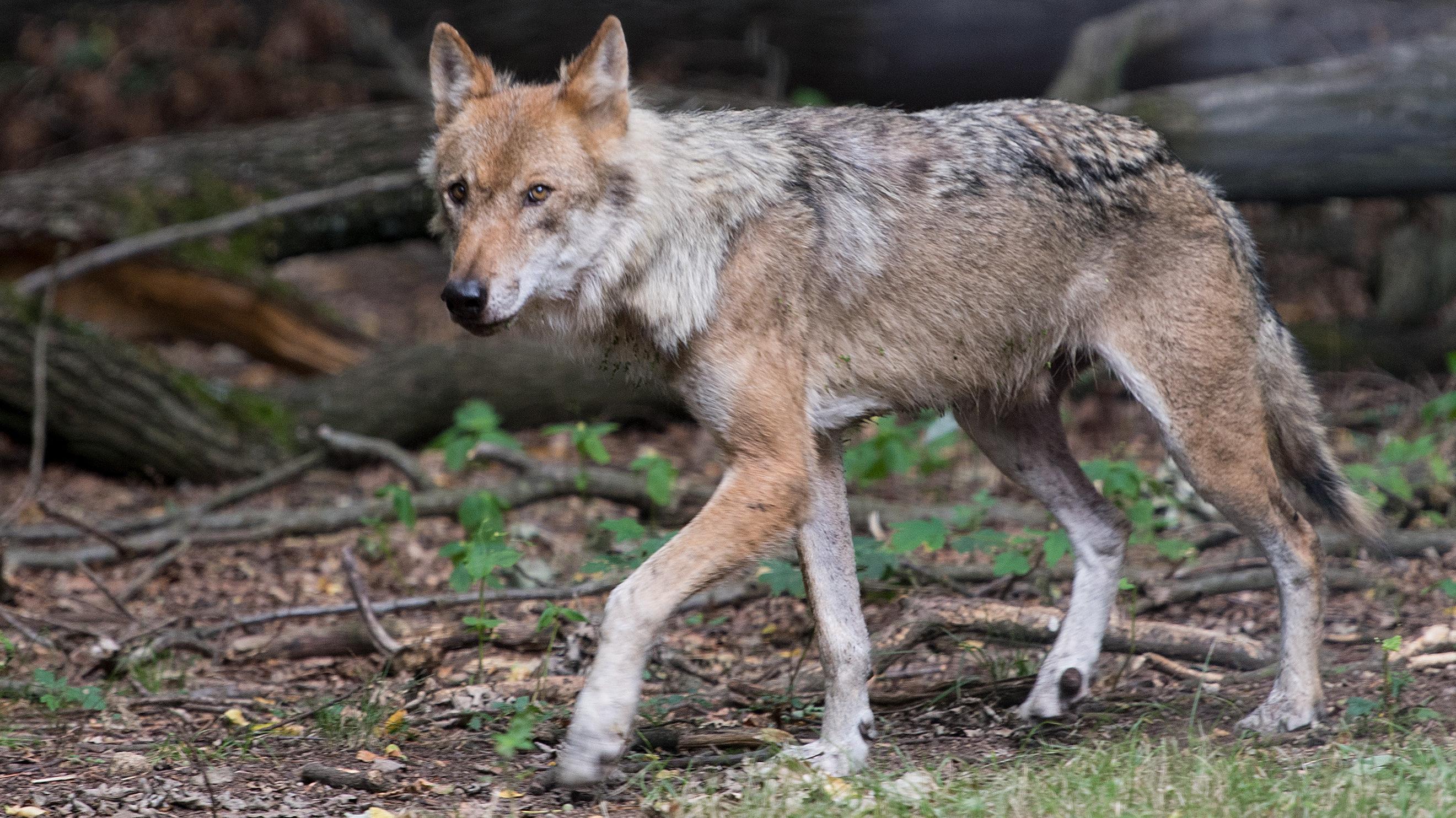 Der Wolf geht um im Oberallgäu