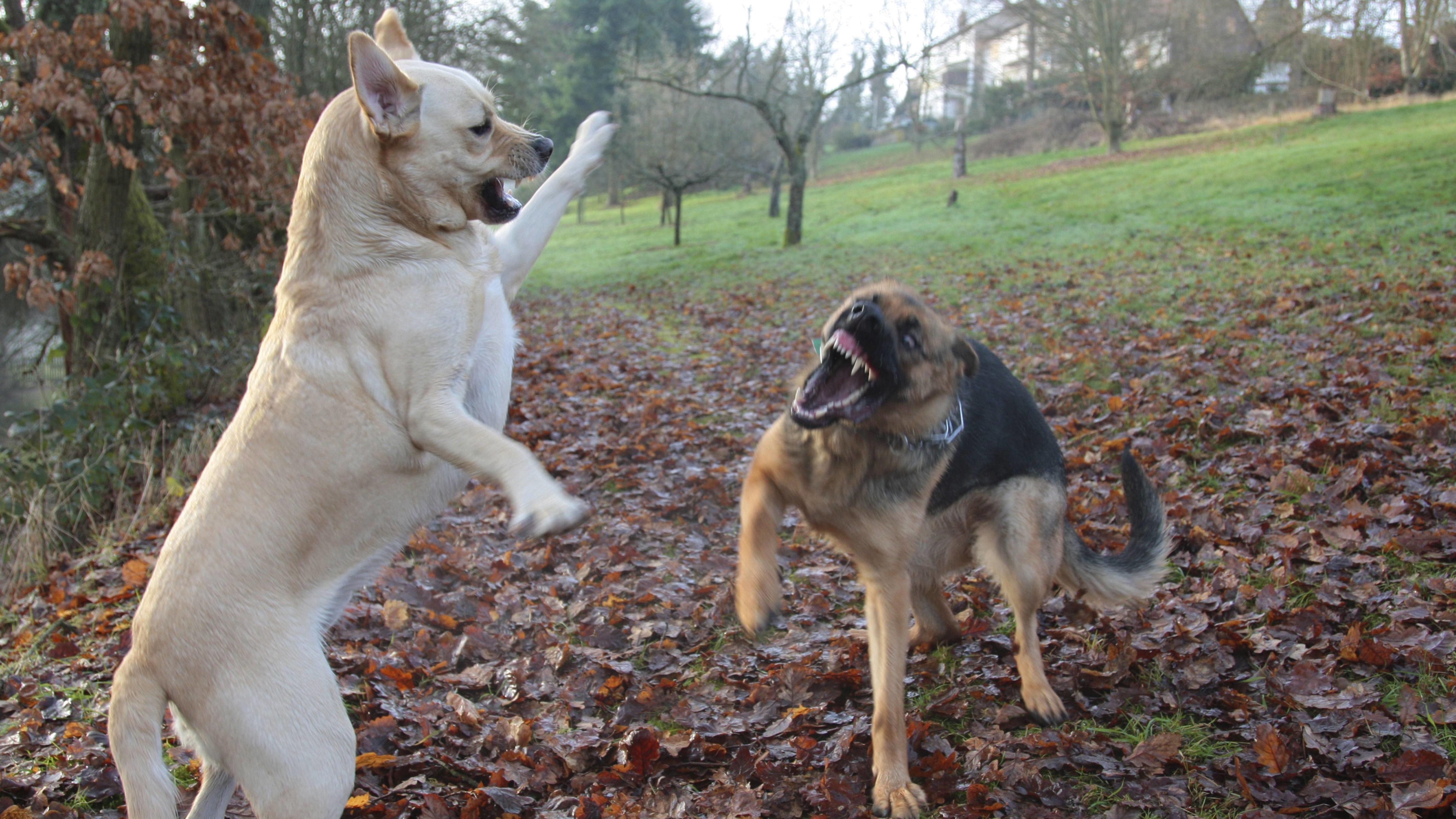 Zwei Hunde kämpfen miteinander (Symbolbild)