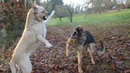Zwei Hunde kämpfen miteinander (Symbolbild)   Bild:picture alliance / blickwinkel/G. Kopp