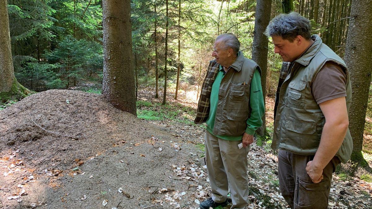 Die Ameisenheger im Wald bei Dollnstein beobachten den großen Ameisenhügel.
