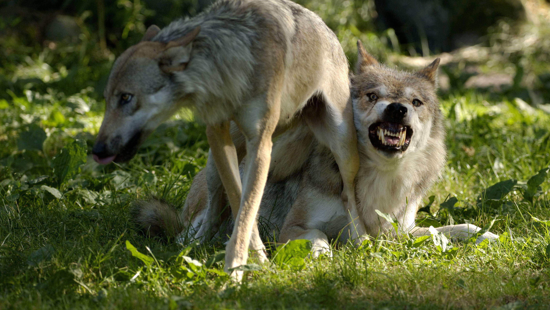 In der nördlichen Oberpfalz hat sich offenbar ein drittes standorttreues Wolfspaar niedergelassen. Die Tiere wurden bei Parkstein registriert.