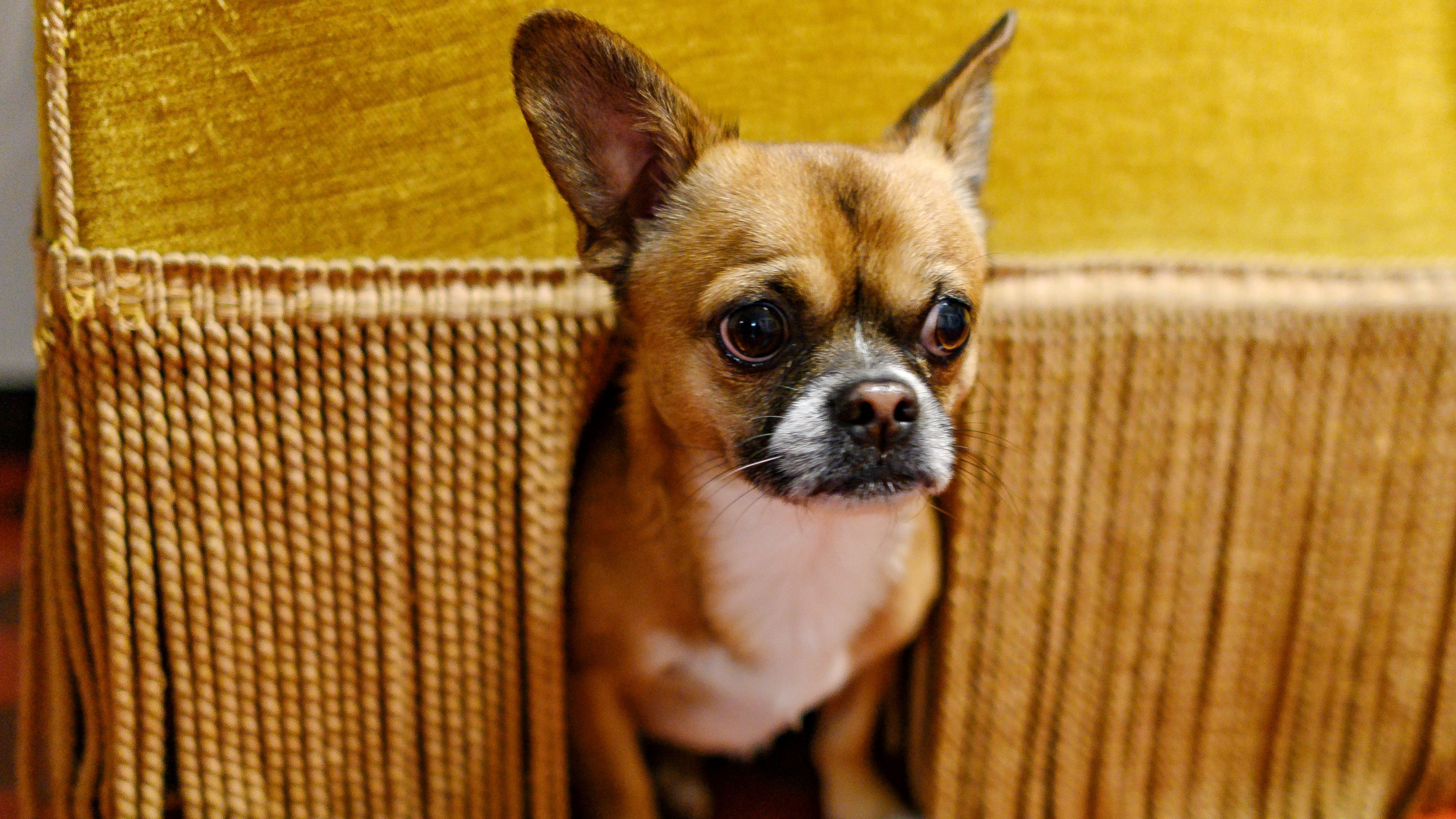Ein Chihuahua-Pekinesen-Mix versteckt sich unter einer Couch.