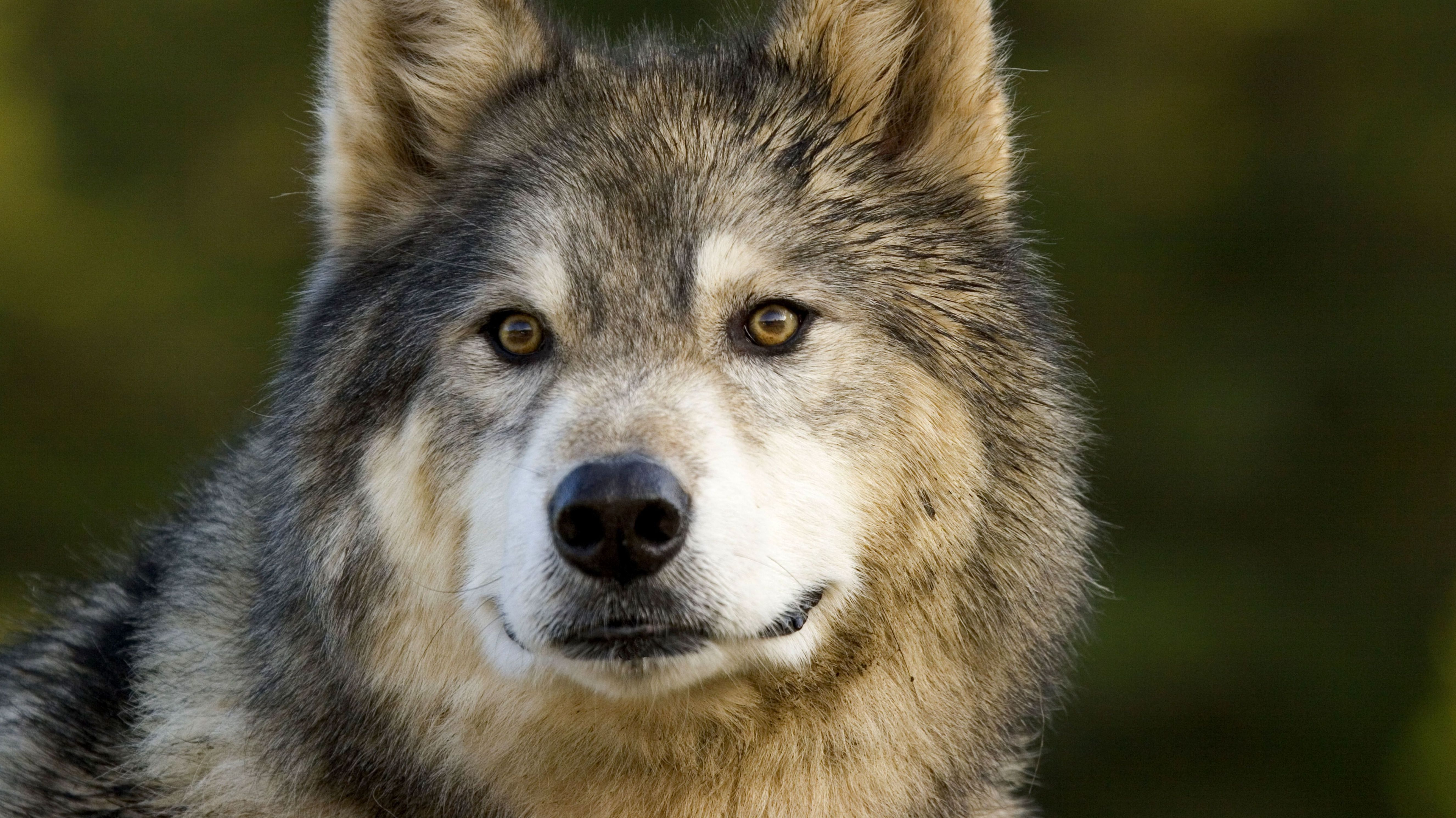 Wolf-Husky-Mischling