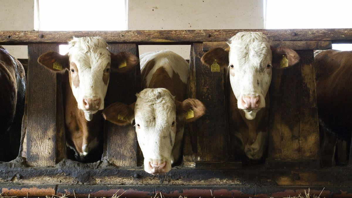 Drei Kühe im Stall (Symbolbild)
