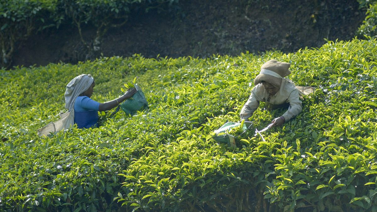 Teeplantage in Indien (Symbolbild)