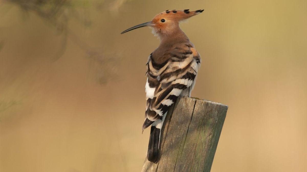 Schwarz-weiß gestreift, mit orange-braunem Hals und imposanter Federhaube auf dem Kopf: Der Wiedehopf ist ein besonders schöner Vogel.