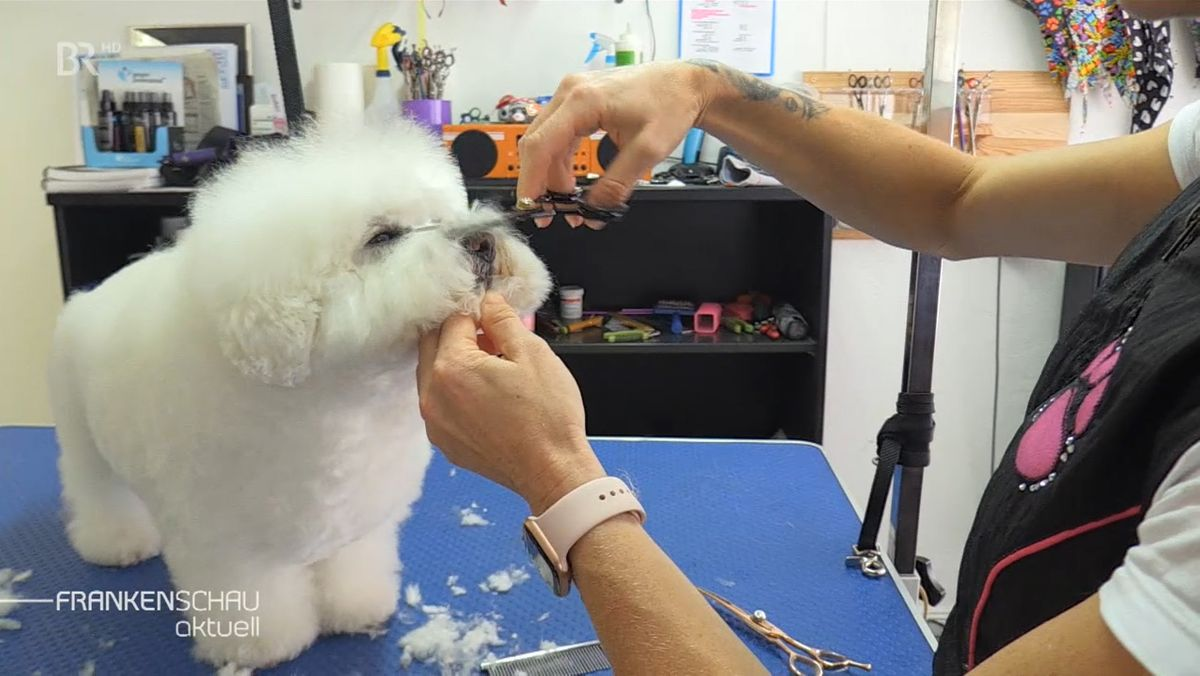 Eine Hundefrisörin schneidet das weiße Fell eines Pudels.