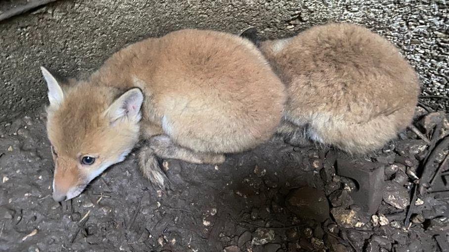 Fuchswelpe kauert am Boden eines Schachts