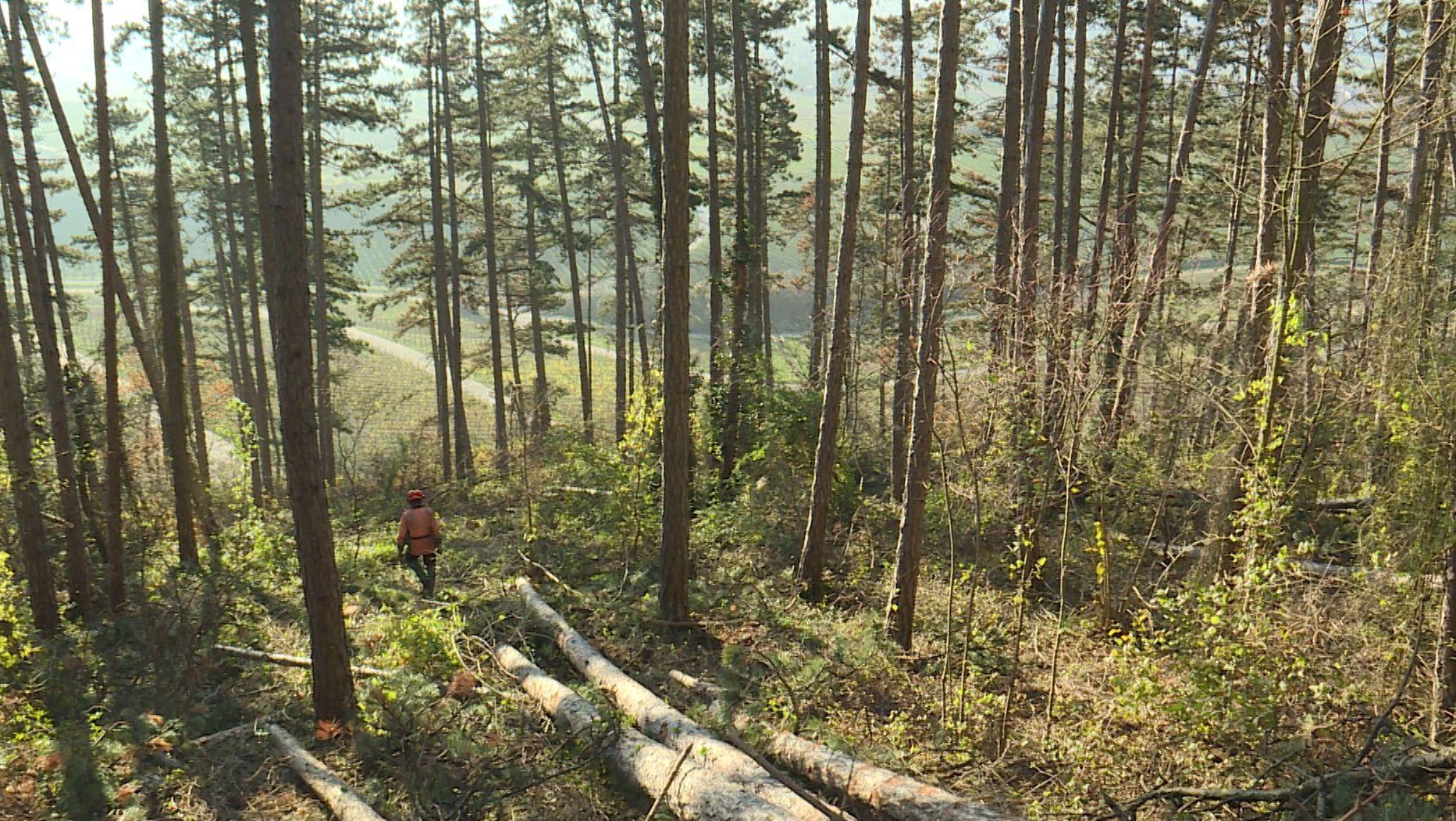 Schwanberg: 500 tote Schwarzkiefern aus Steilhang gezogen