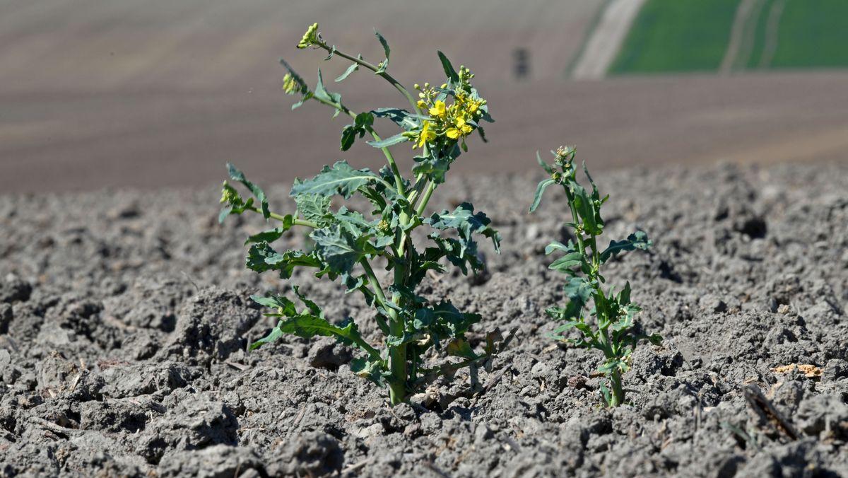 Eine Rapspflanze wächst aus dem trockenen Boden eines Feldes.