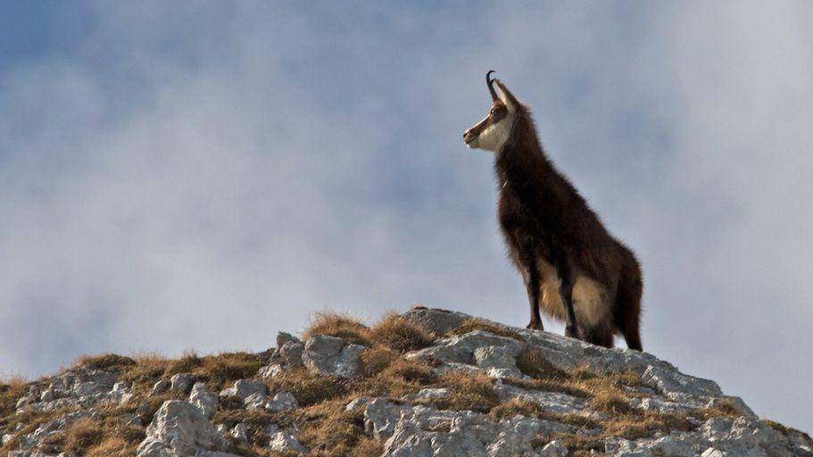 Eine Gams steht auf einer Bergkuppe im im hochalpinen Gelände.