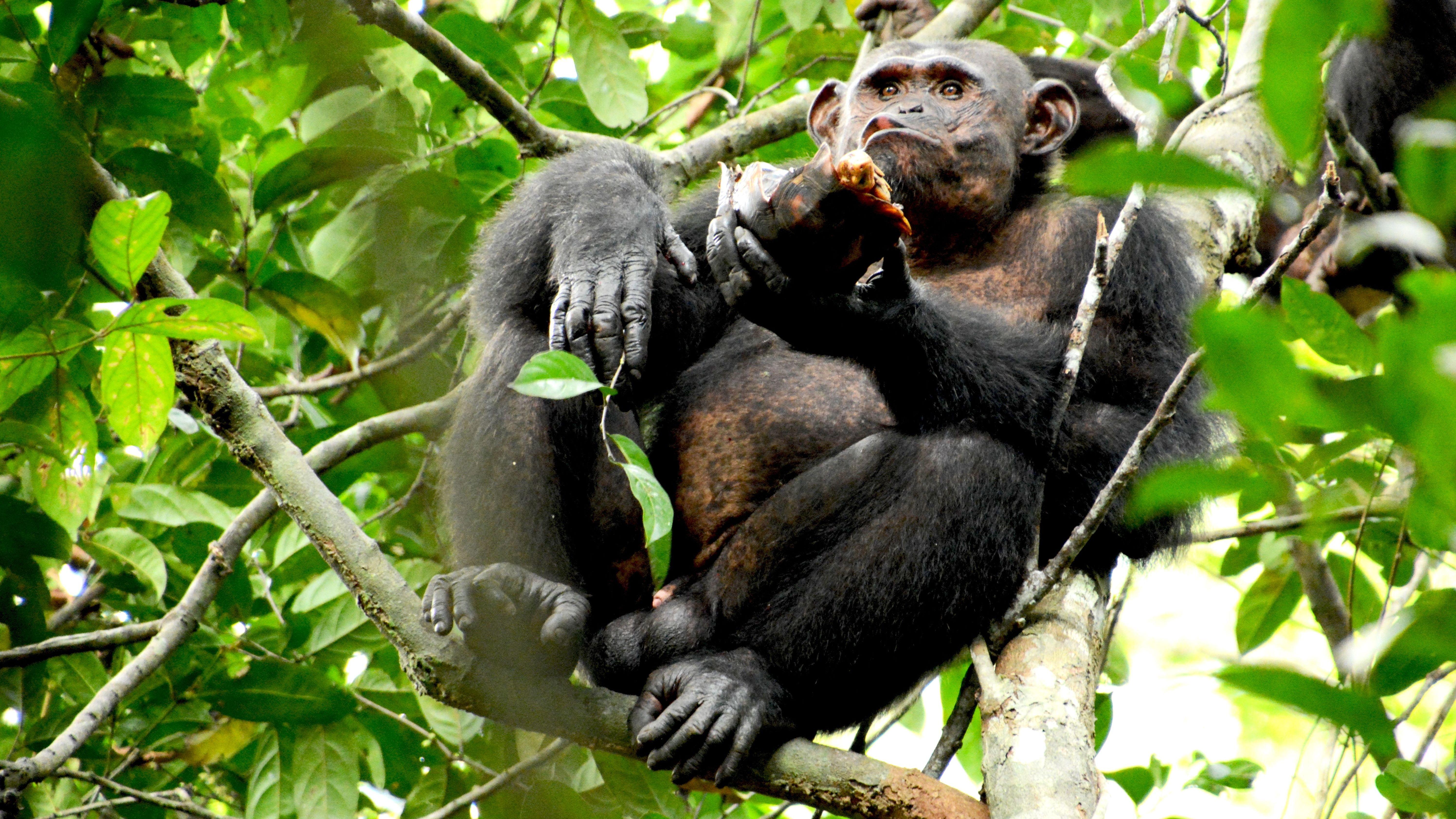 Ein Schimpanse sitzt in Gabun im Loango Nationalpark auf einem Baum - und lässt sich eine Schildkröte schmecken.