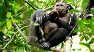 Ein Schimpanse sitzt in Gabun im Loango Nationalpark auf einem Baum - und lässt sich eine Schildkröte schmecken. | Bild:Max-Planck-Institut/Universität Osnabrück/dpa