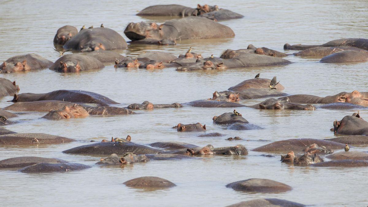 Eine Herde von Flusspferden im Wasser