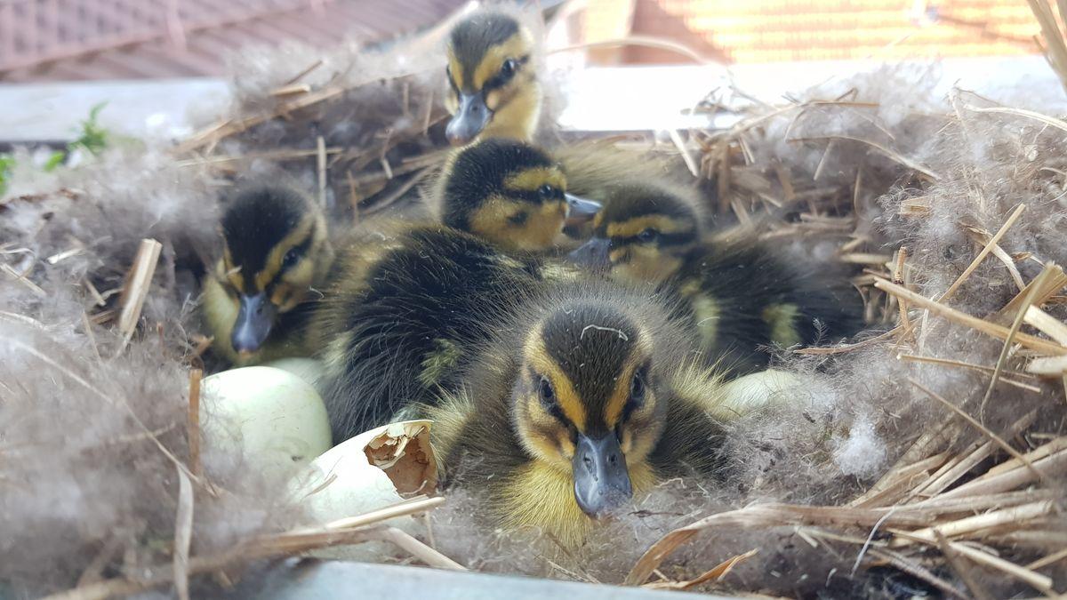 Enten-Küken in ihrem Nest