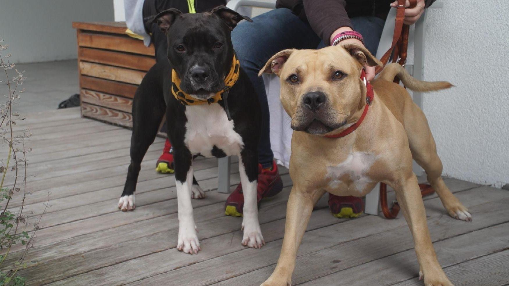 Diese zwei Kampfhunde der Rasse American Staffordshire Terrier leben gerade im Tierheim München.