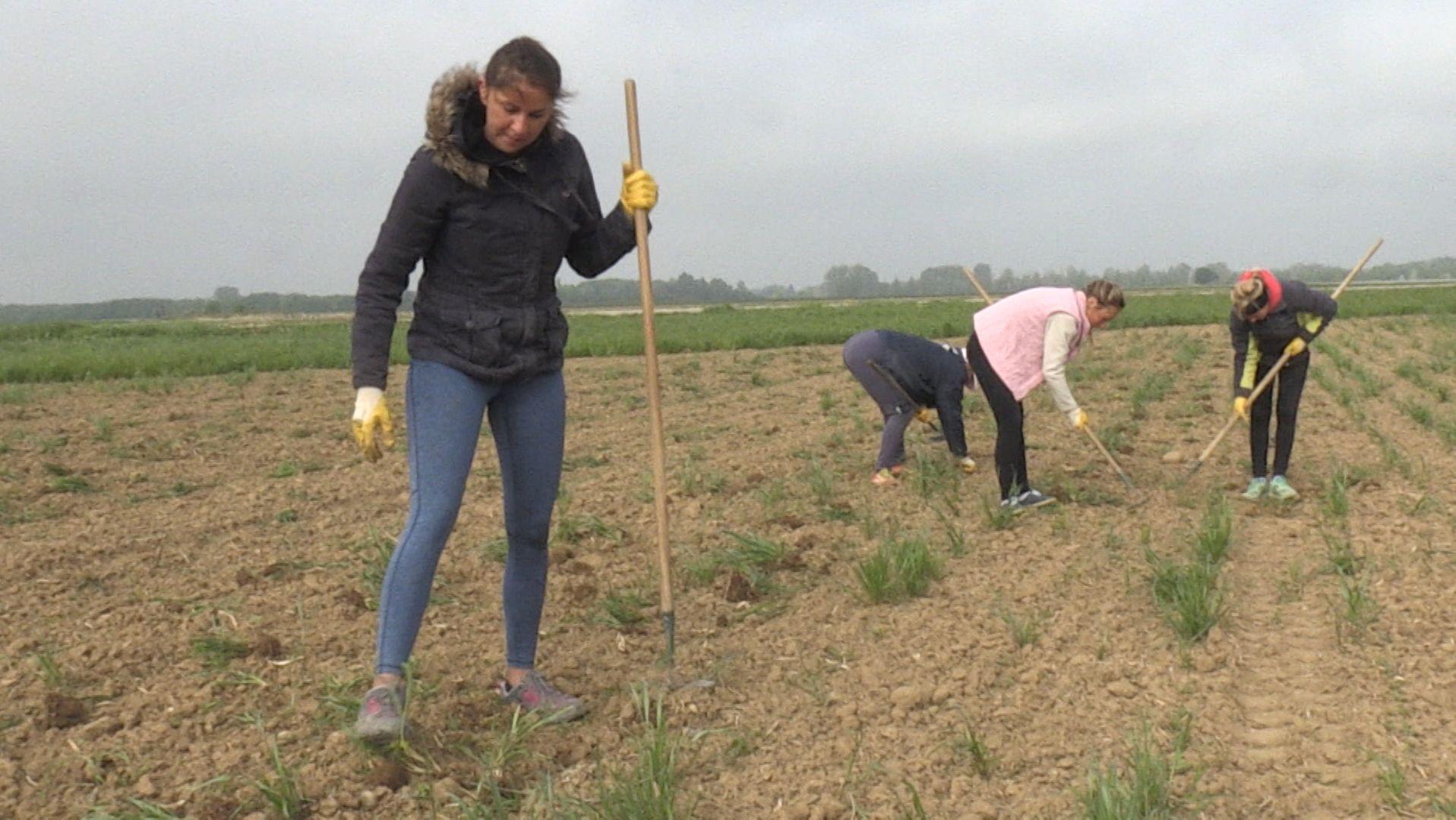 Viel Handarbeit: Bio-Zuckerrüben aus Bayern