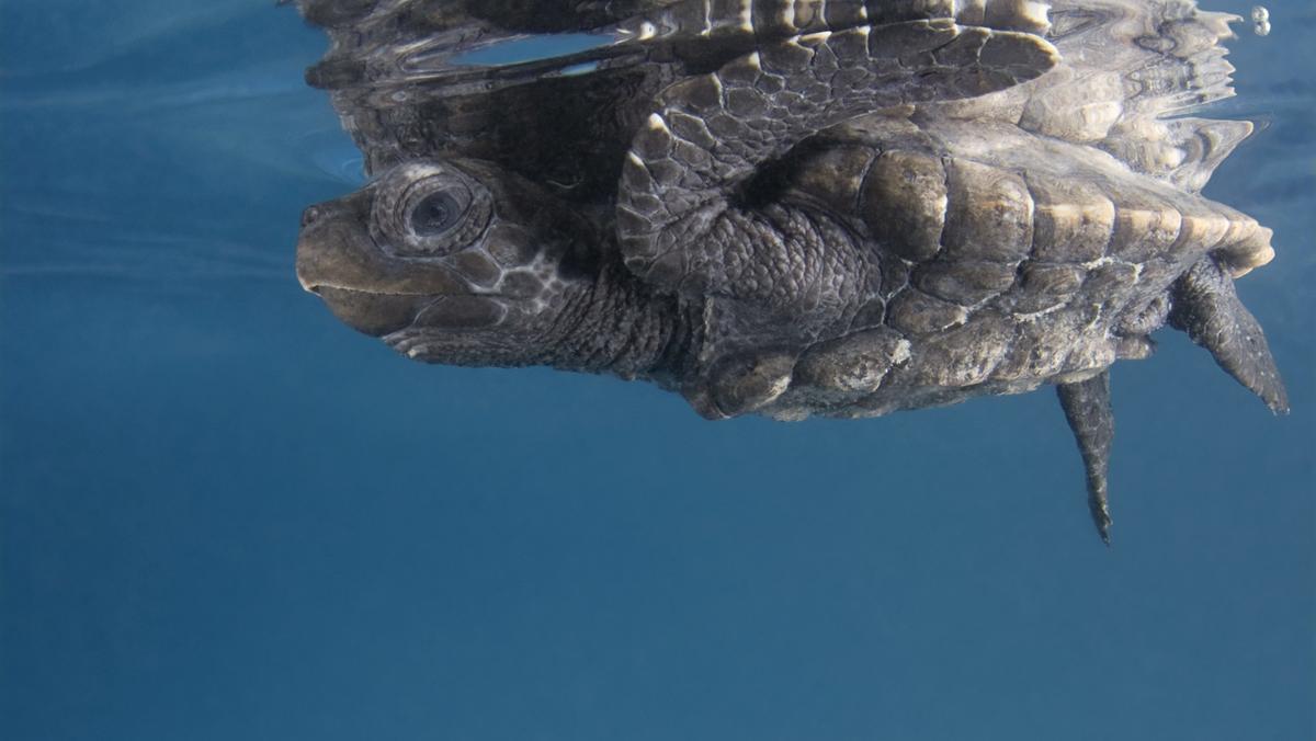 Eine junge Echte Karettschildkroete schwimmt im Meer und spiegelt sich an der Wasseroberfläche. An der Oberfläche schwimmt leider auch das Plastik - die Schildkröten fressen den Müll und können daran sterben.