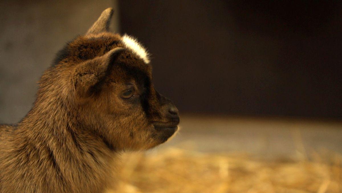 Gleich 16 putzige Zwergziegen hüpfen derzeit durch den Stall im Augsburger Zoo.