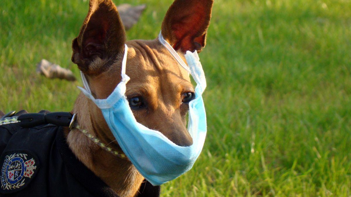 Hund mit Atemschutzmaske