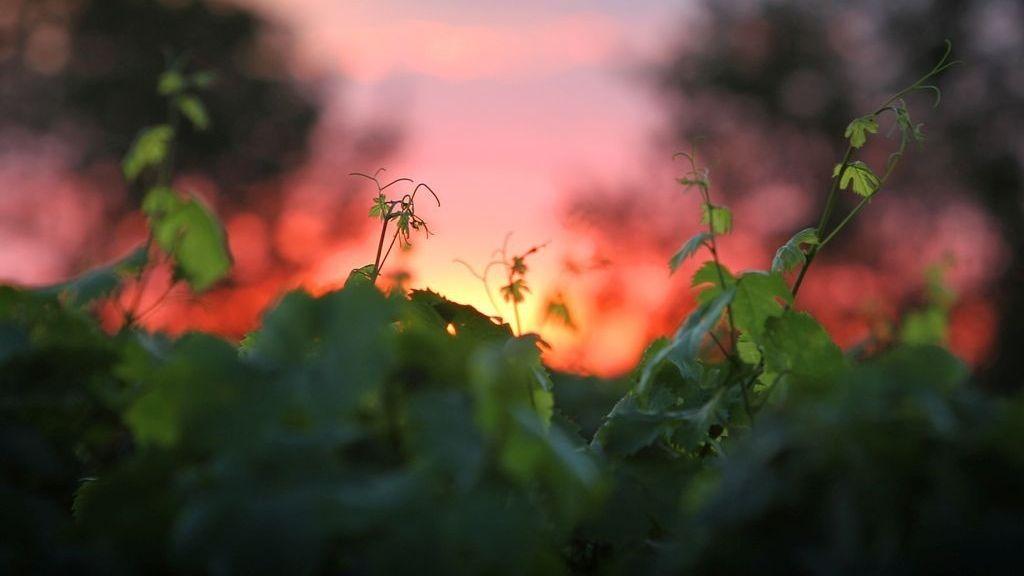 Weinberg in der Abendsonne