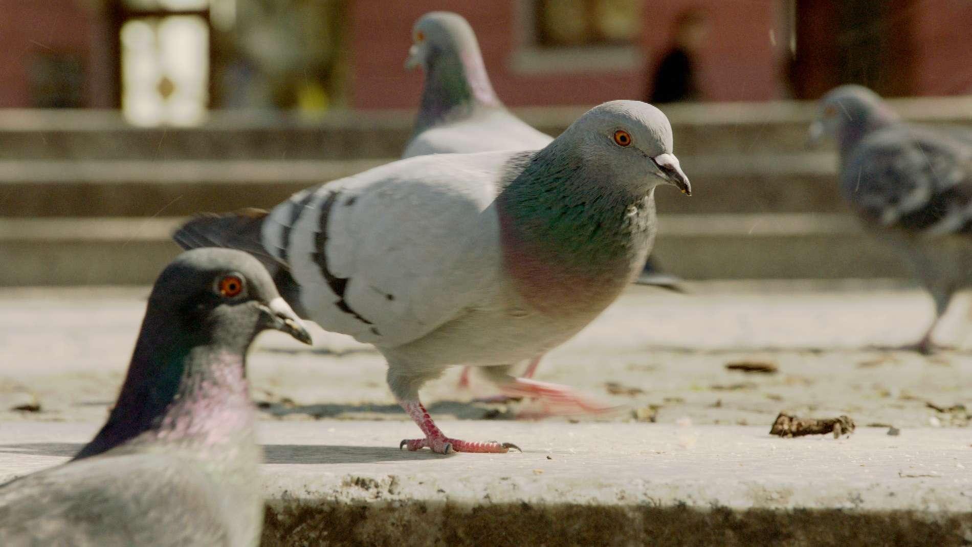 Tauben in München