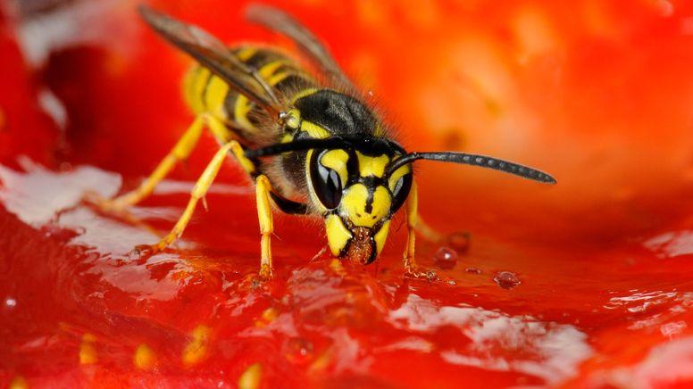 Eine Wespe auf einer Erdbeere   Bild:picture alliance / imageBROKER   Michael Weber