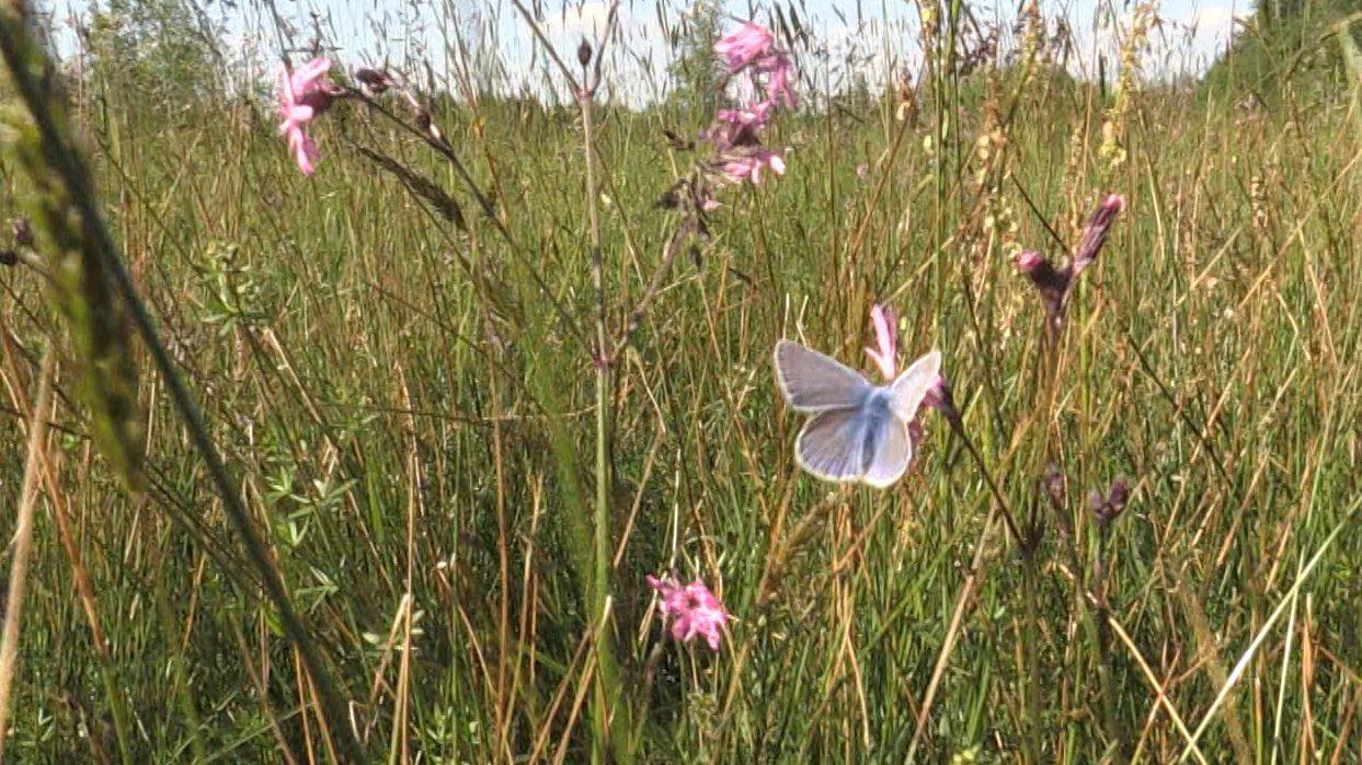 Auf der Trenkmoosrunde können seltene Insekten beobachtet werden: Ein Bläuling in der Wiese