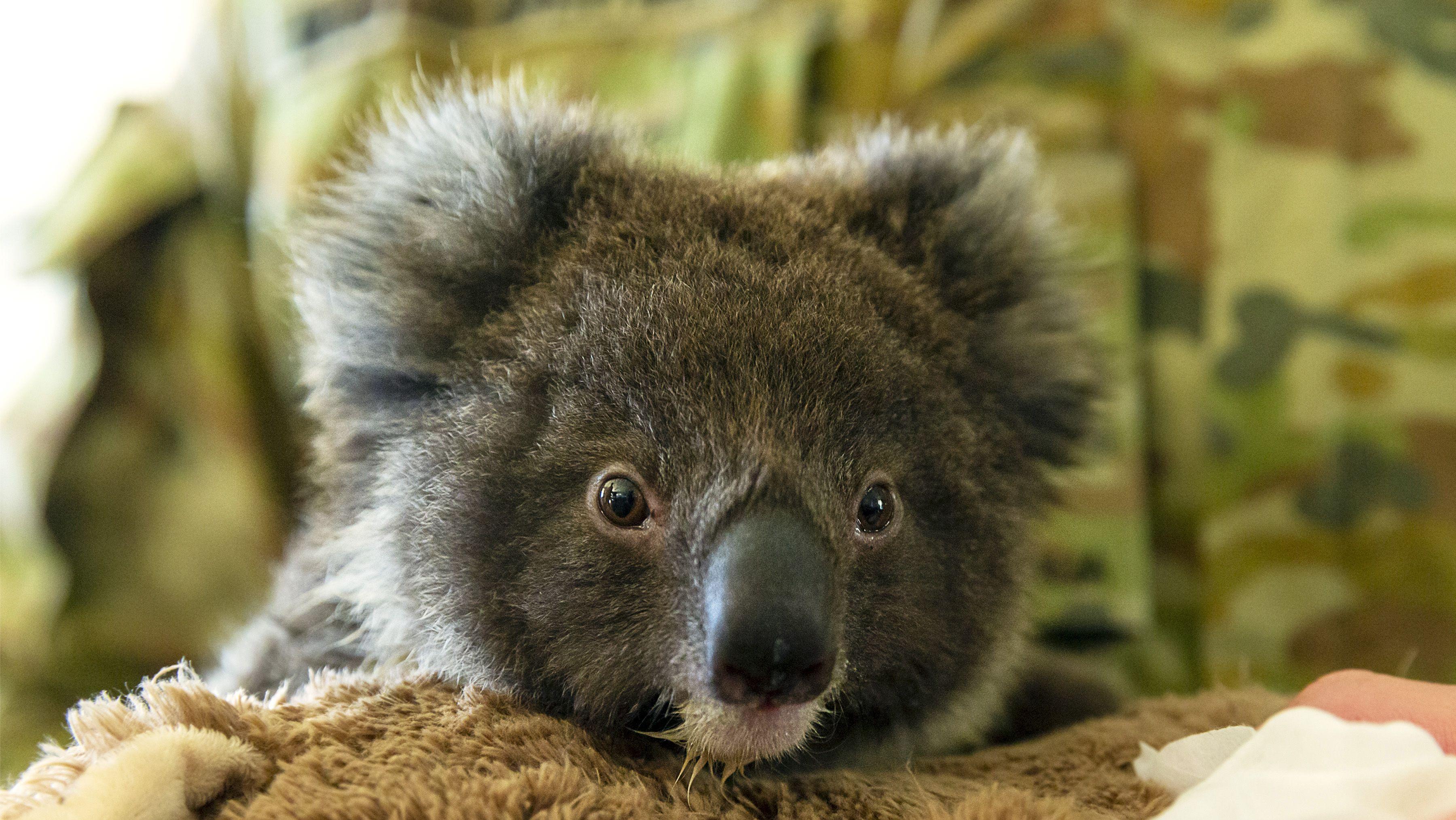 Ein junger Koalabär, der von einer Auffangstation gerettet wurde.