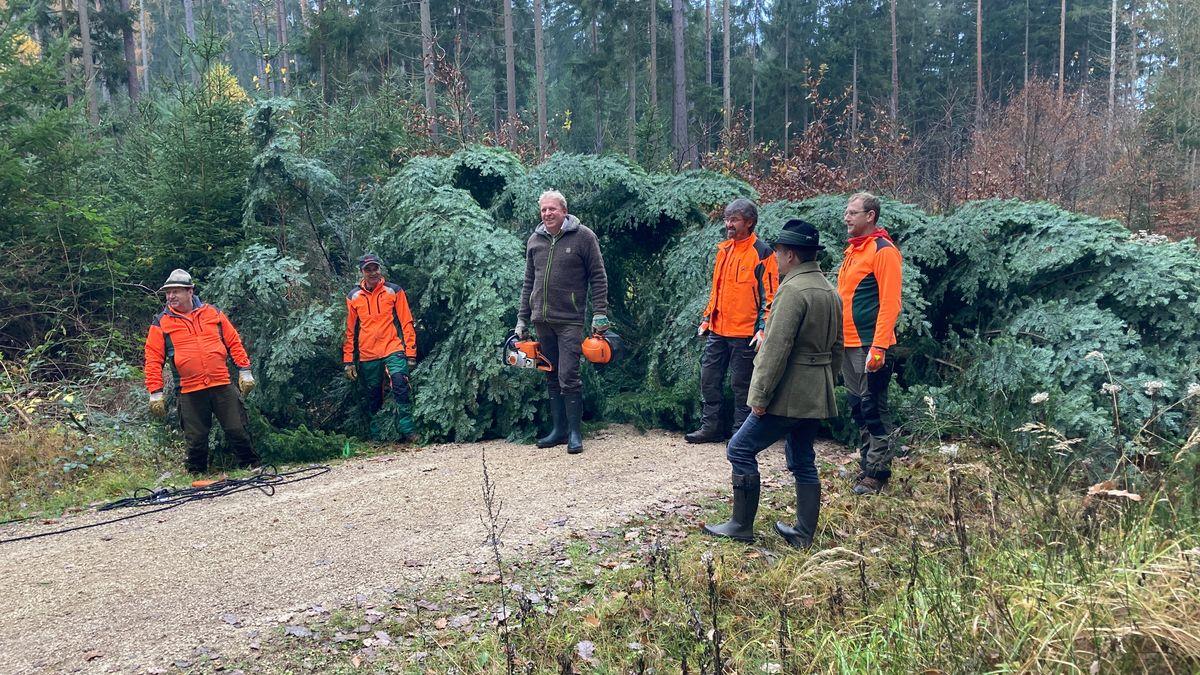Im Landkreis Roth ist eine 15 Meter hohe Weißtanne gefällt worden. Sie soll der Weihnachtsbaum im Bayerischen Landtag werden