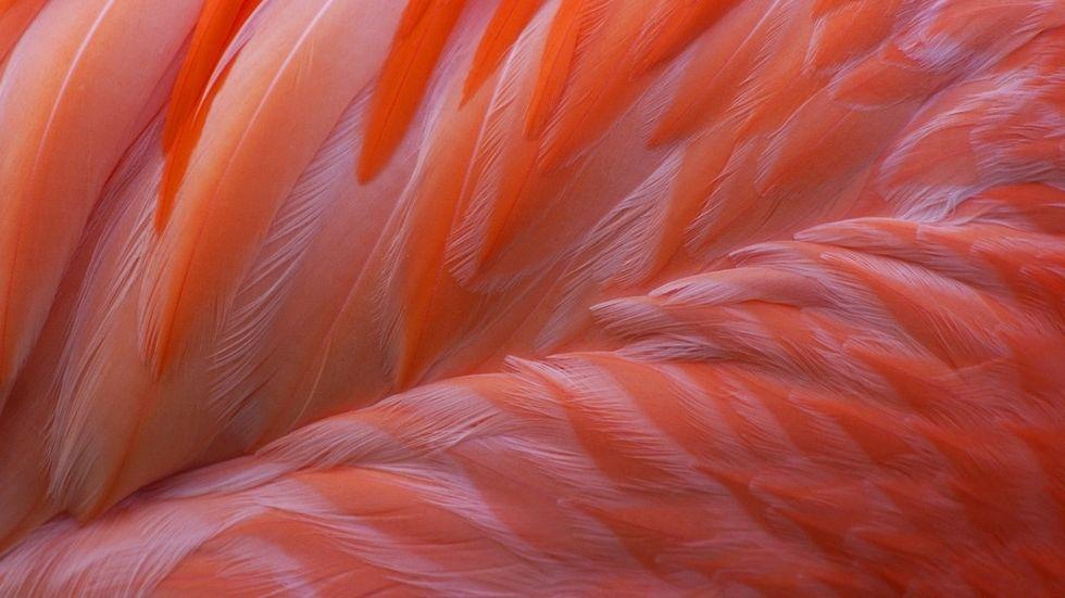 Insgesamt gibt es sechs Arten von Flamingos: Neben dem Roten Flamingo noch den Zwergflamingo, den Rosaflamingo ...