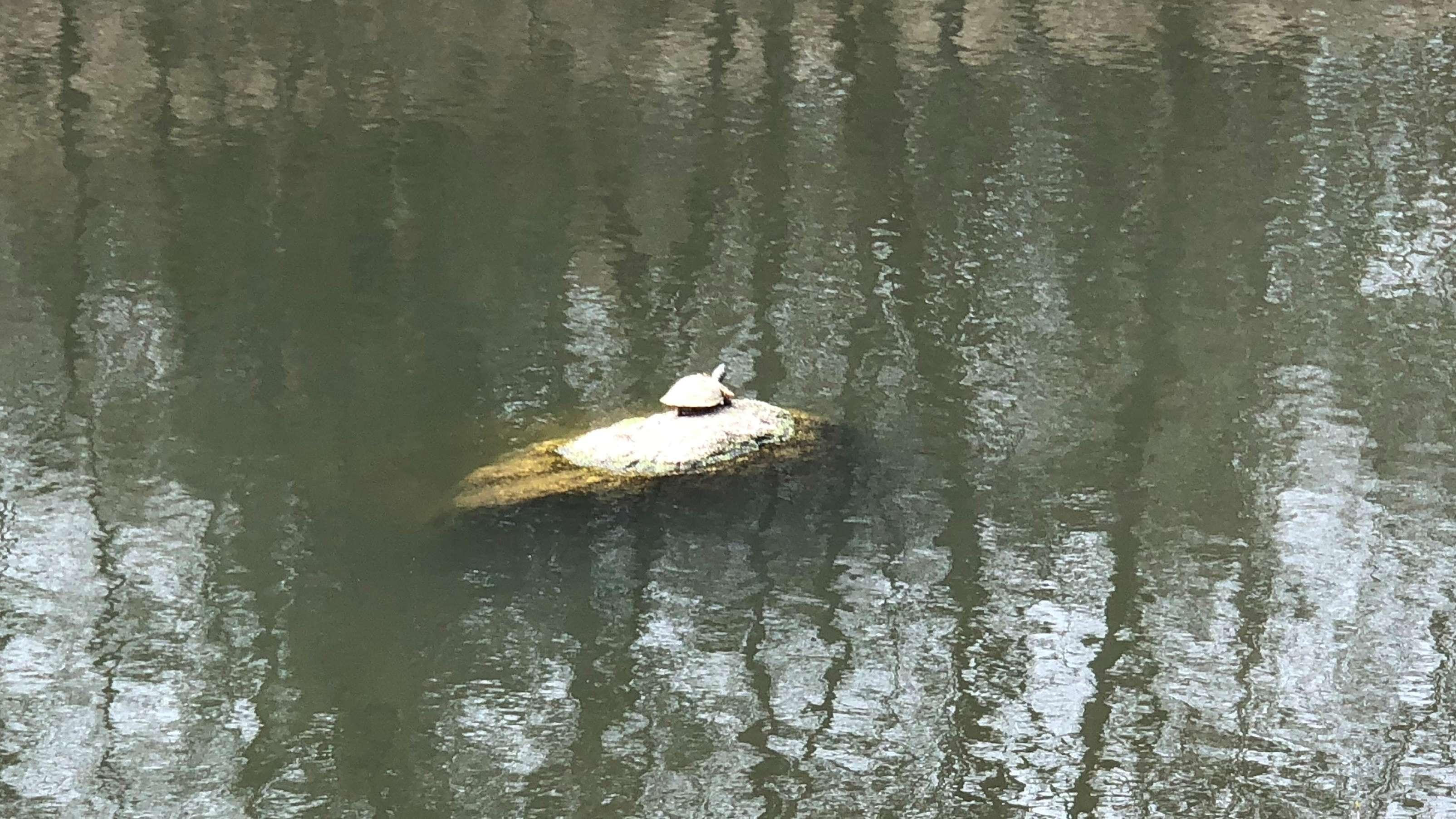 Schildkröte Priszilla auf ihrem Lieblingsplatz beim Sonnenbad