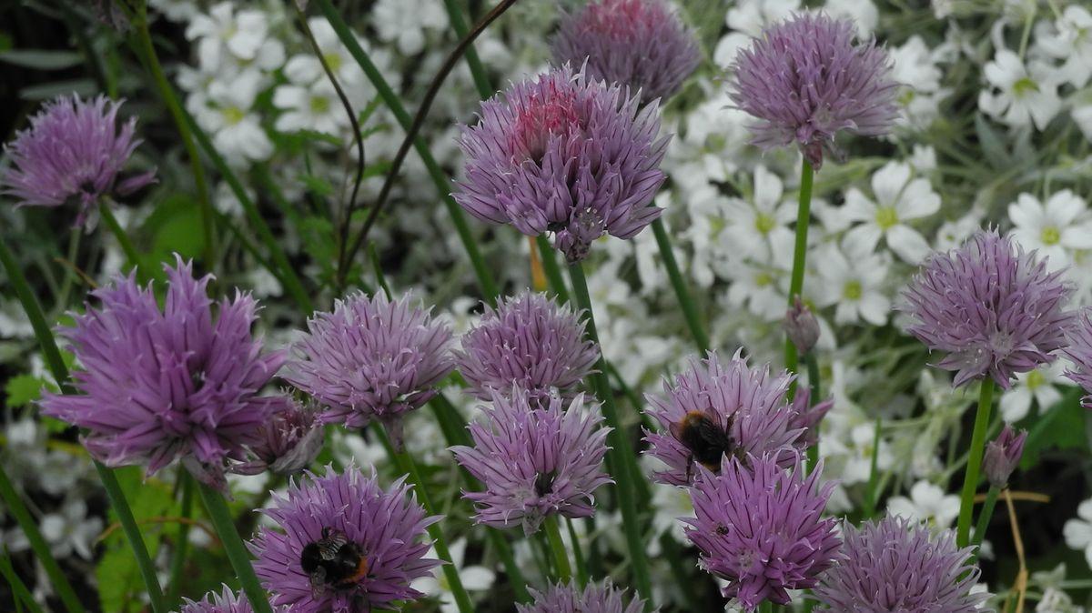Wildbienen an nicht abgeschnittenen Schnittlauchblüten
