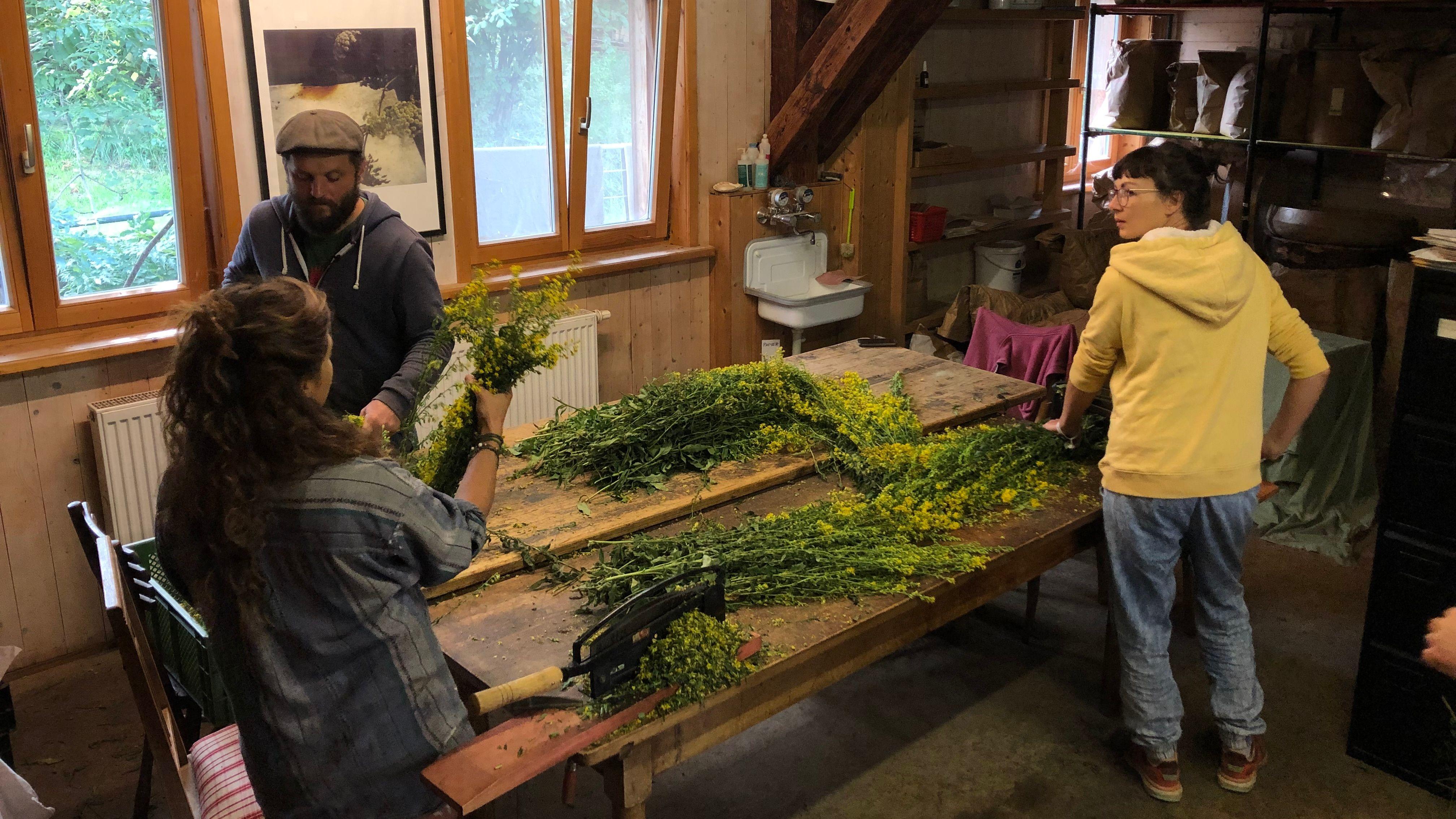 Helfer auf einem Bio-Hof bearbeiten einige Sträuße Goldrute.