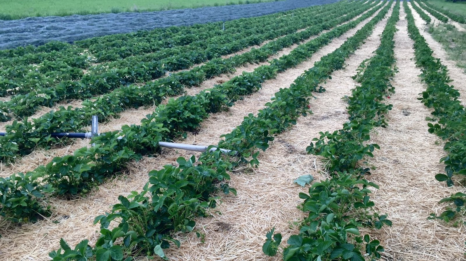 Plantage mit Erdbeeren bei Lindau (Archivbild)