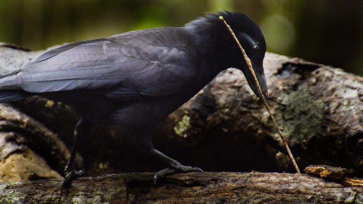 Eine Neukaledonische Krähe mit einem Zweig im Schnabel