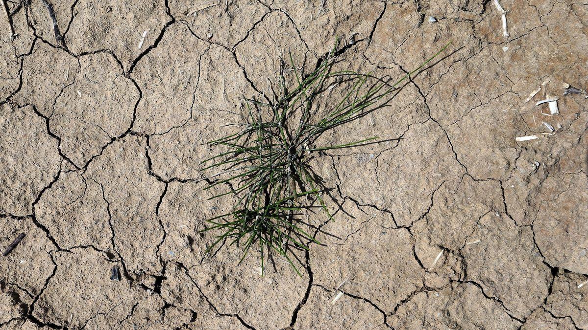 Gras wächst auf dem trockenen und rissigen Ackerboden eines Blaukrautfeldes.