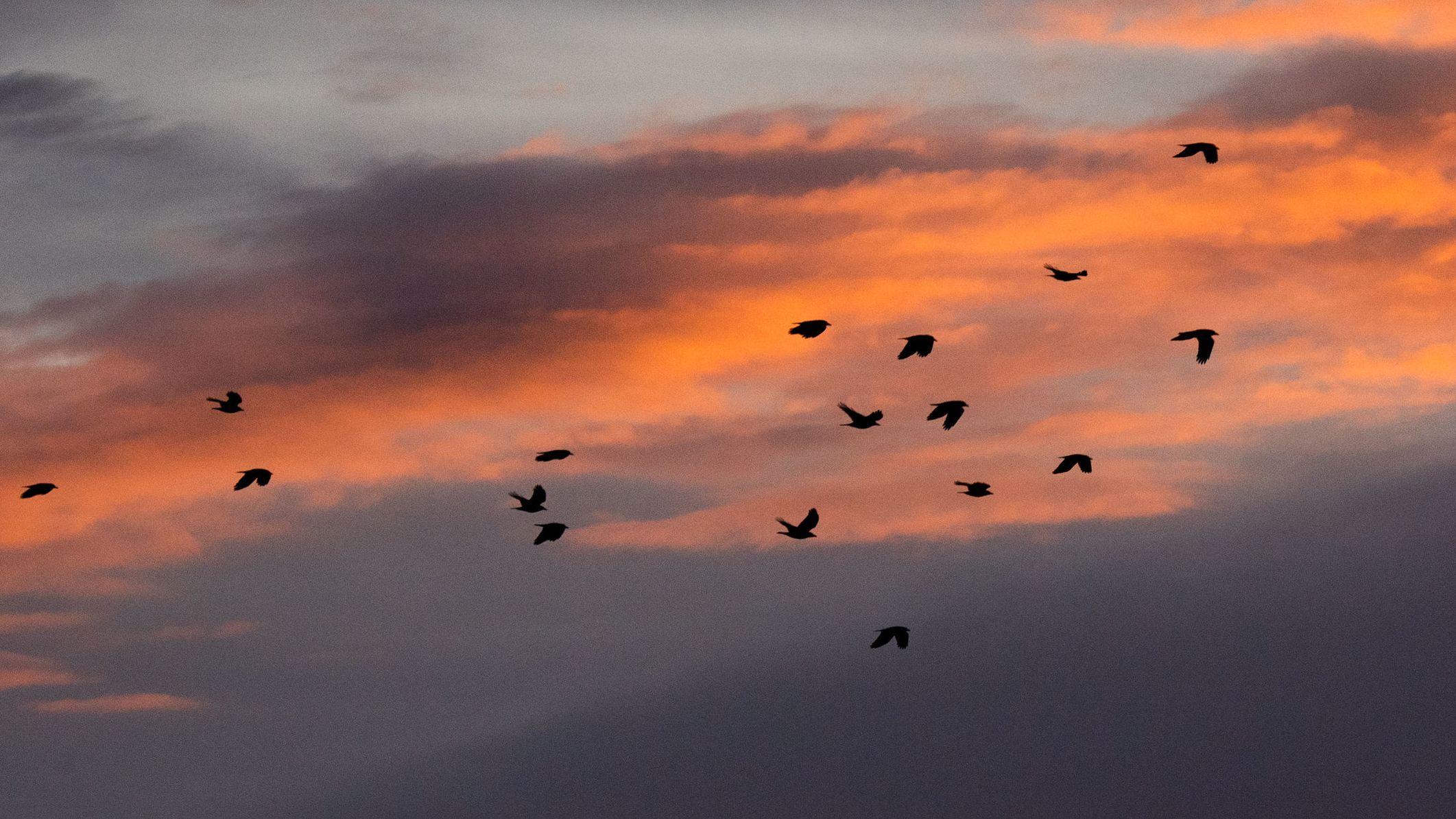 17.12.2019, Niedersachsen, Hannover: Ein Vogelschwarm fliegt über Felder, während am Horizont die aufgehende Sonne die Wolken rötlich erscheinen lässt.