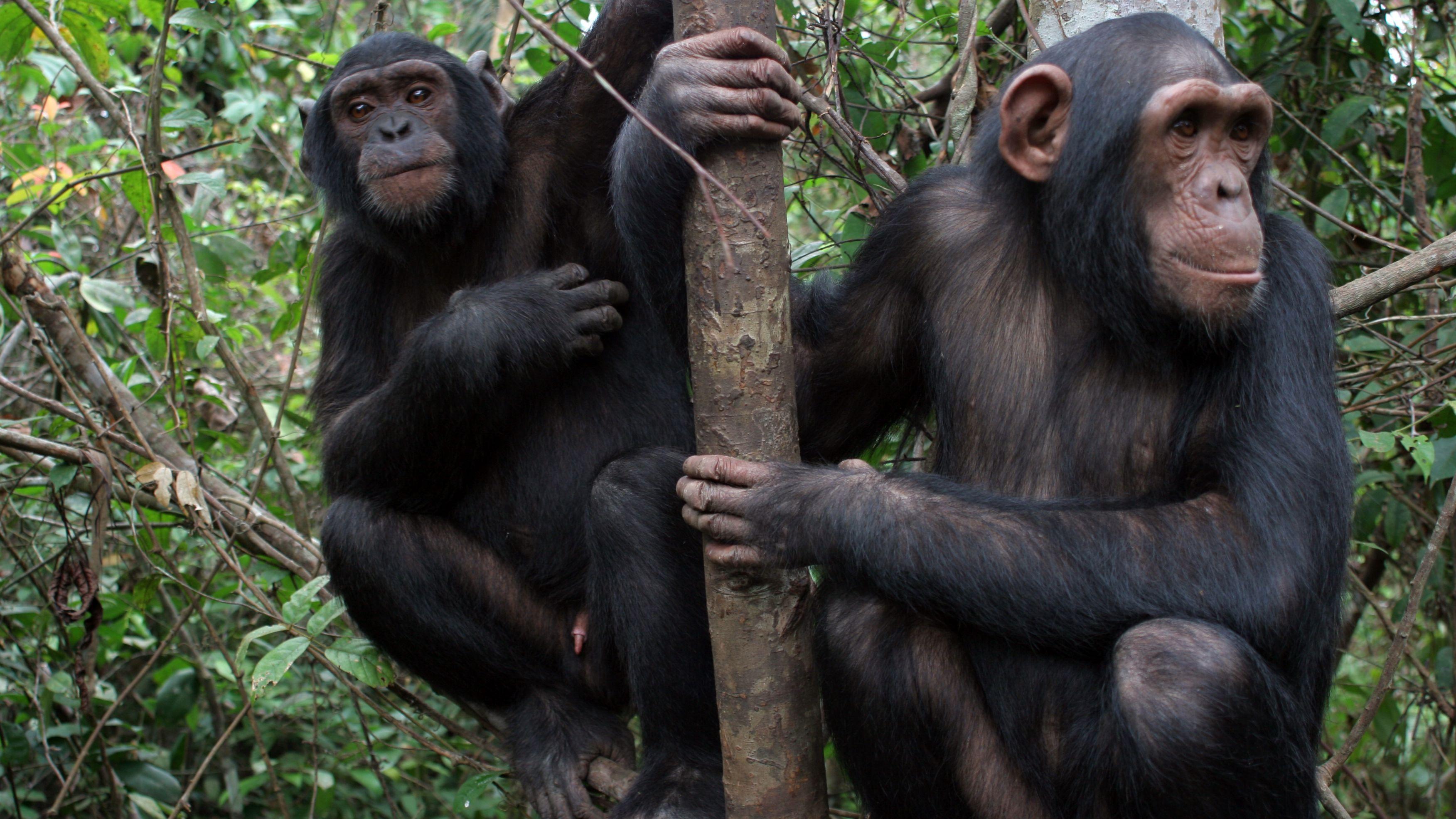 Schimpansen lernen viel voneinander.