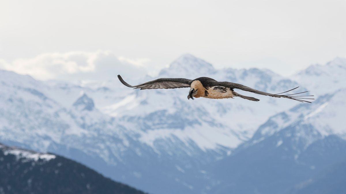Ein Bartgeier fliegt über verschneite Alpengipfel