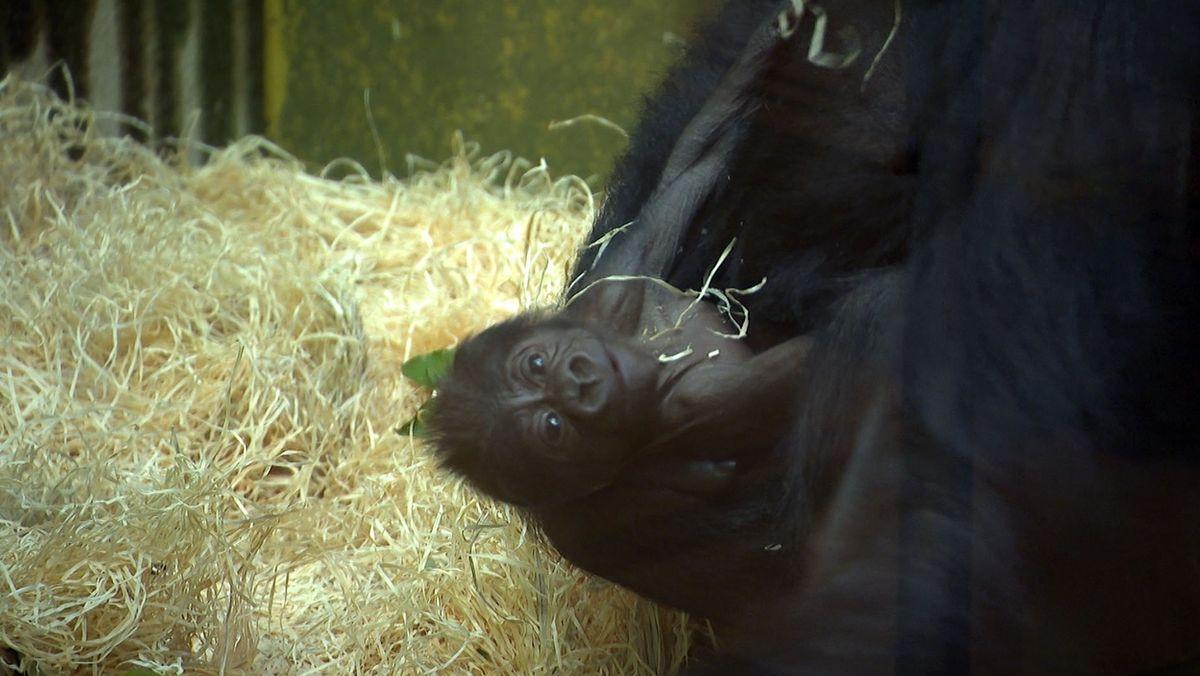 Gorilla Weibchen Louna und ihr Junges, geboren am 13. Oktober im Nürnberger Tiergarten