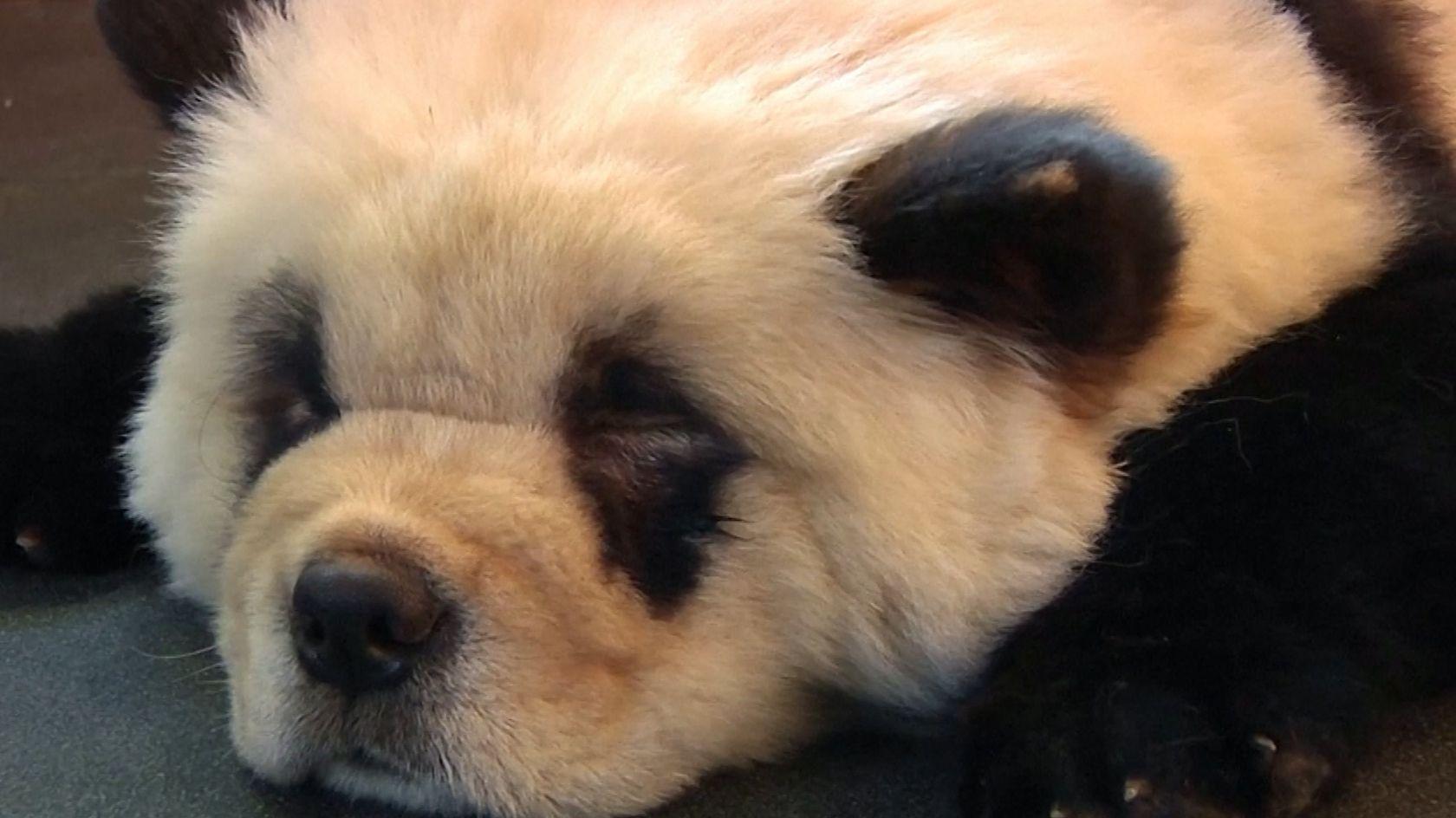 Ein Hunde-Panda in einem chinesischen Café