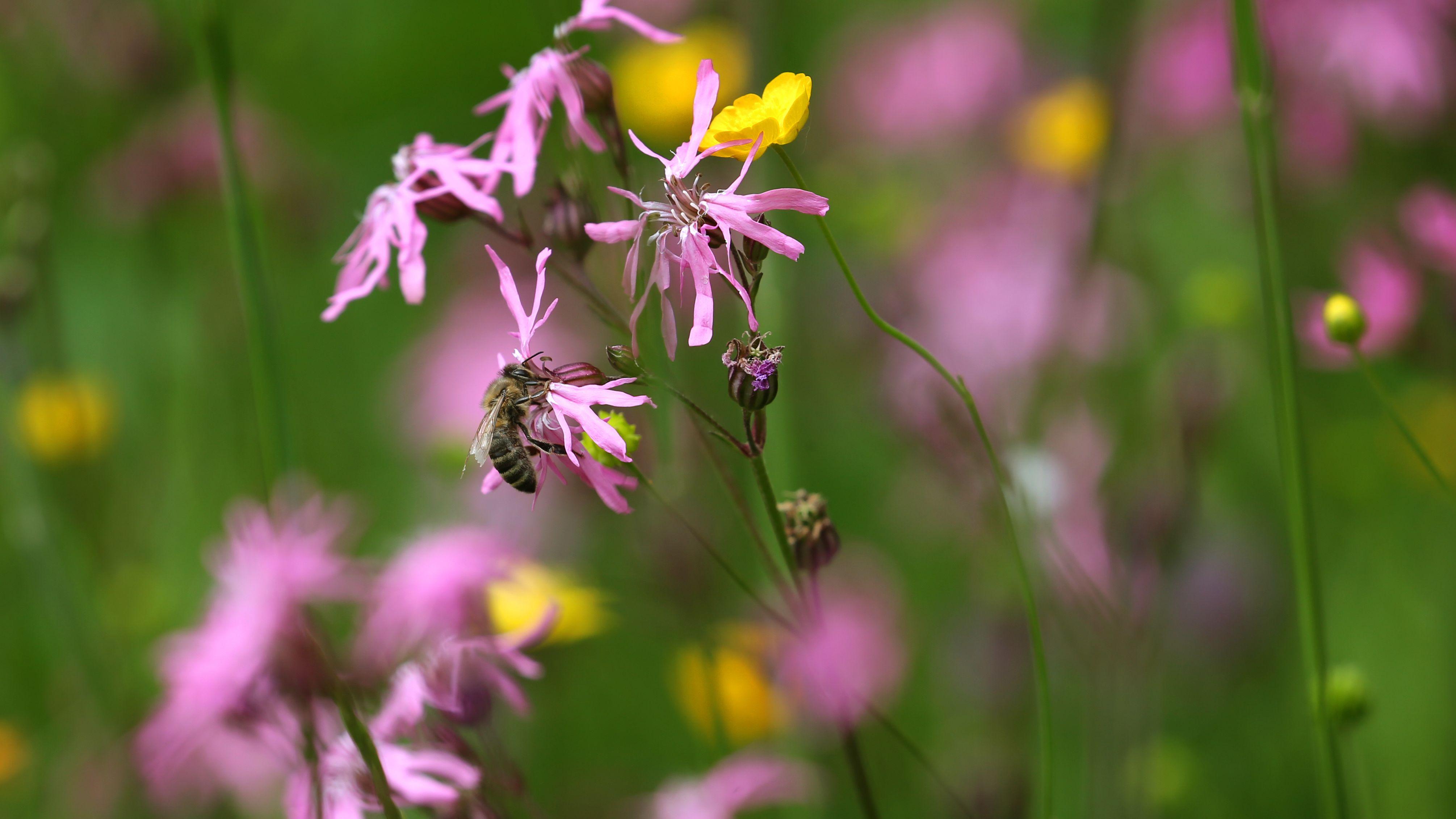 Eine Biene sitzt auf einer Blüte in einer Blumenwiese