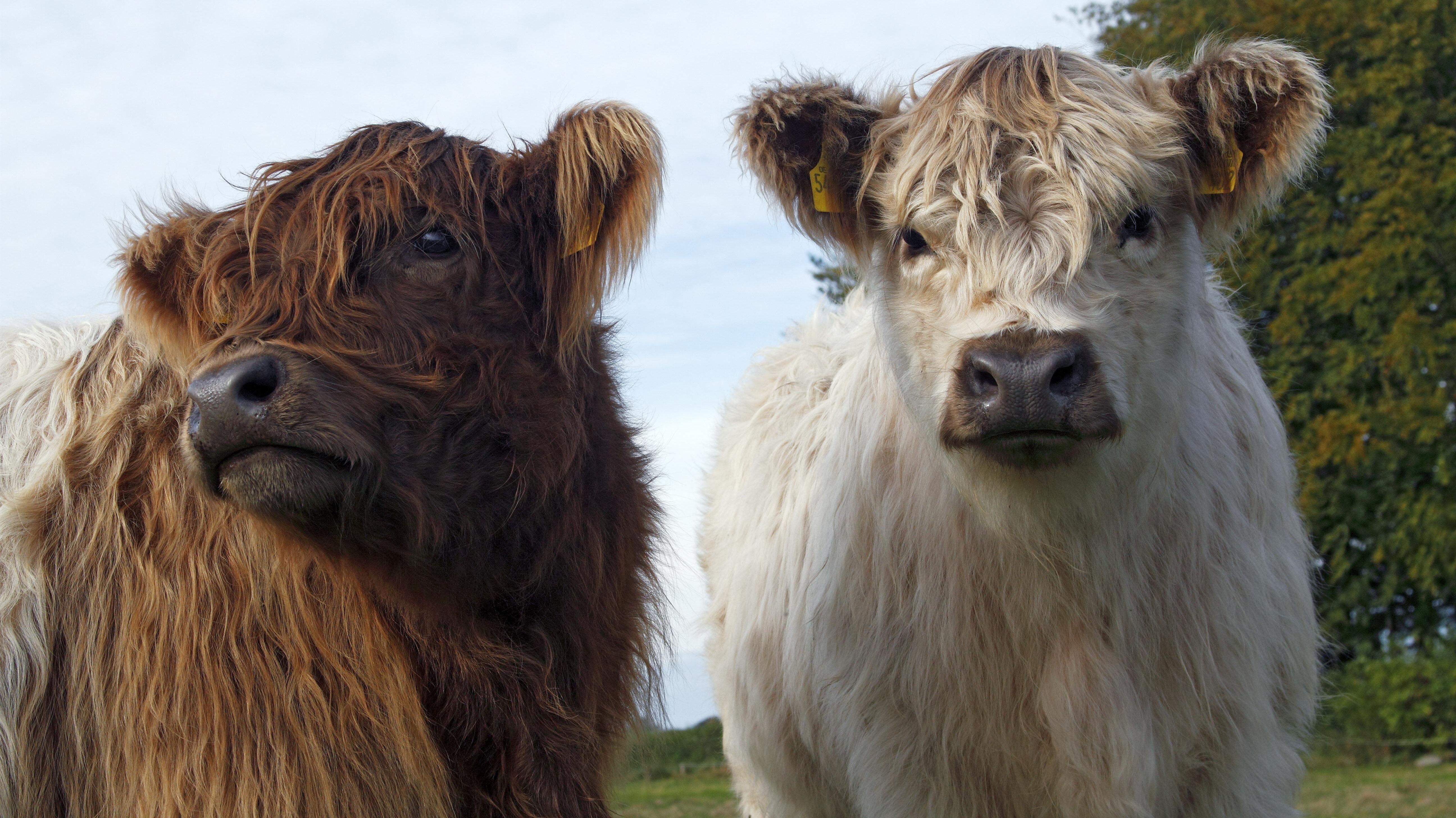 Zwei junge Galloway-Rinder