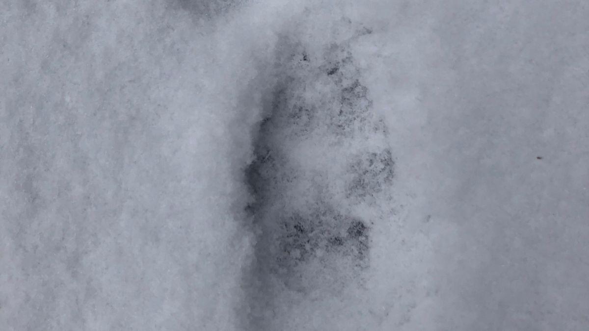 Wolfs-Spur im Schnee