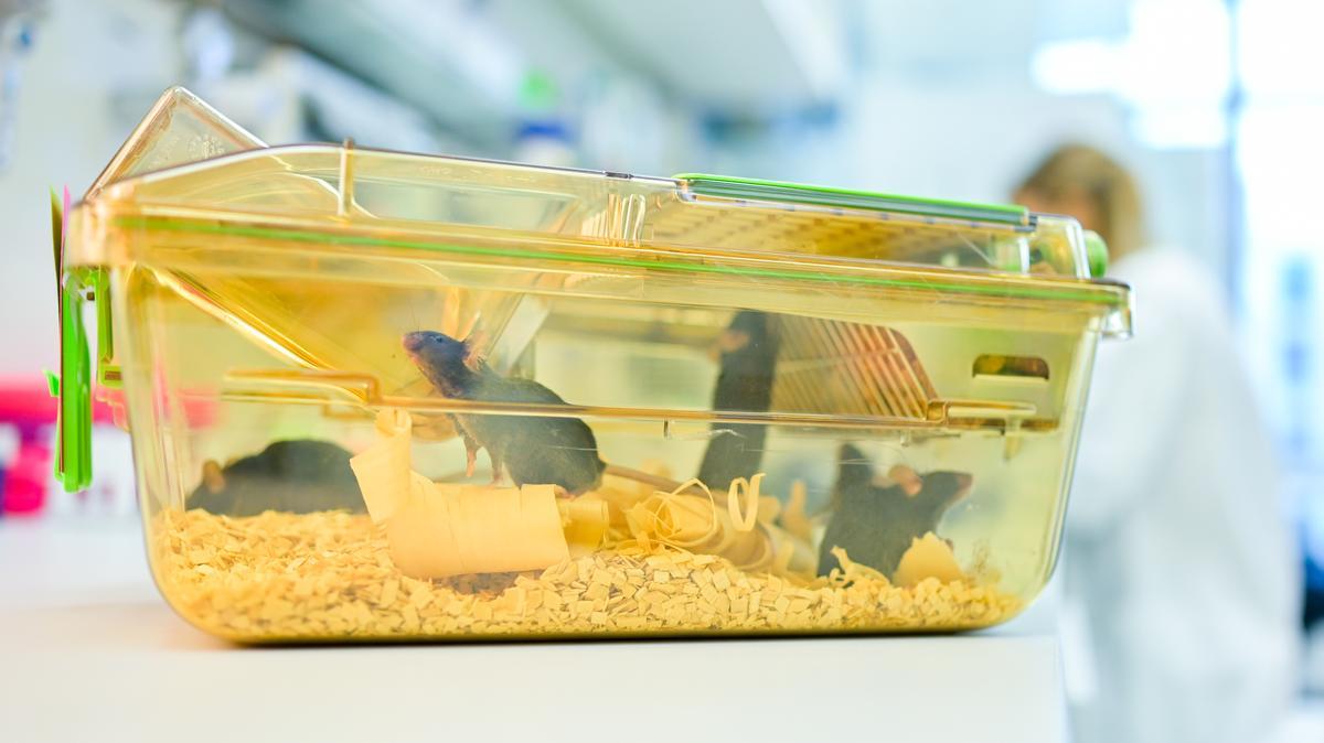 Ein geschlossener Behälter mit Mäusen steht in einem Labor des Deutschen Krebsforschungszentrums (DKFZ) vor einer Mitarbeiterin auf einem Tisch.