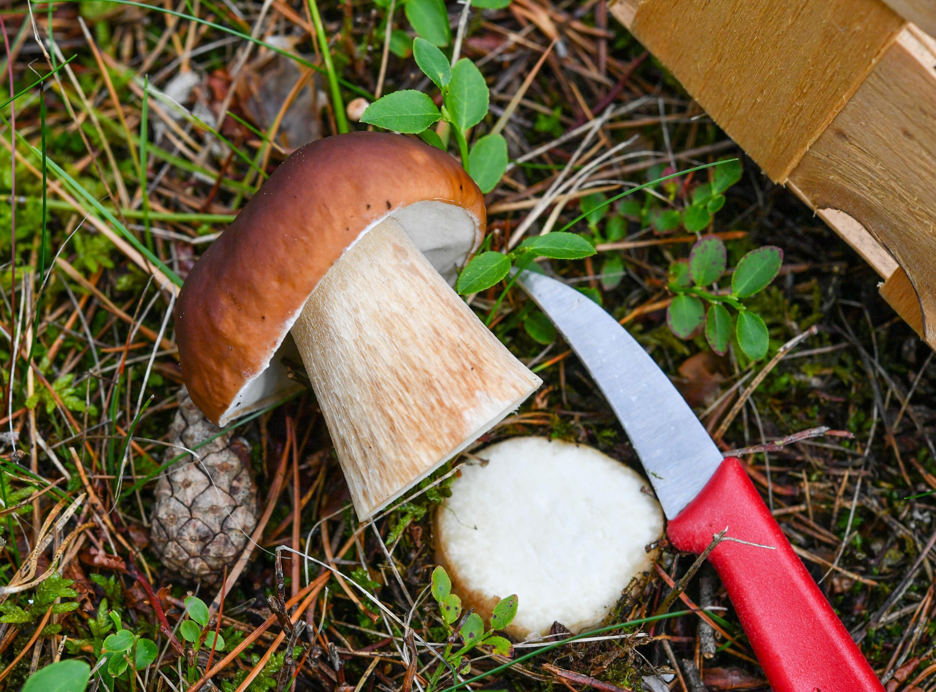Ein abgeschnittener Steinpilz und ein Messer liegen auf dem Waldboden