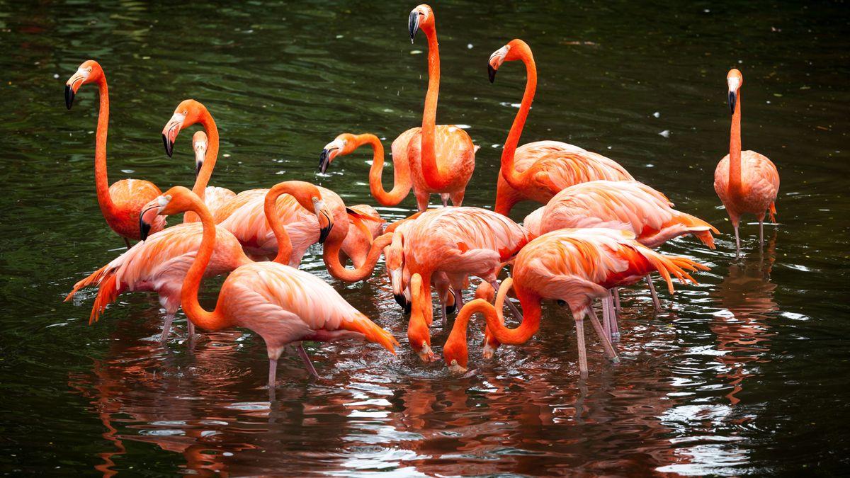 Neue Beobachtungen zeigen, dass das Sozialverhalten von Flamingos viel komplexer ist als bisher angenommen.